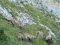Kőszáli kecskék