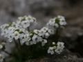 Havasi sziklaizsazsa (Hutchinsia alpina) - Pfaffenstein