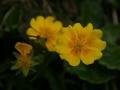 Molyhos napvirag (Helianthemum nummularium) - Polster