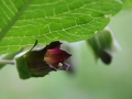 Nadragulya (Atropa belladona) - Pfaffenstein