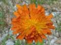 Rezes holgymal (Hieracium aurantiacum)  Johnsbach