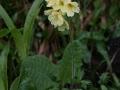 Sugarkankalin (Primula elatior)  Pfaffenstein