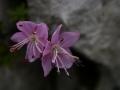 Torpehangarozsa (Rhodothamnus chamaecistus)  Pfaffenstein