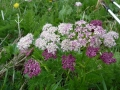 havasi medvegyoker (ligusticum mutellina)