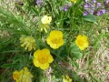 hegyi boglarka (Ranunculus montana)