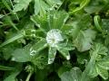 kozonseges palastfu (Alchemilla vulgaris)