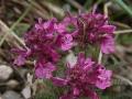 orvos kakastarej (Pedicularis verticillata)  Pfaffenstein
